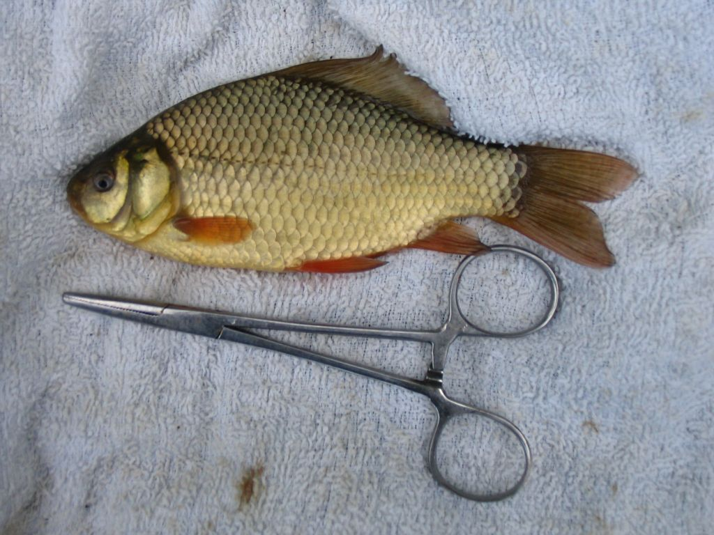 A small pond Crucian