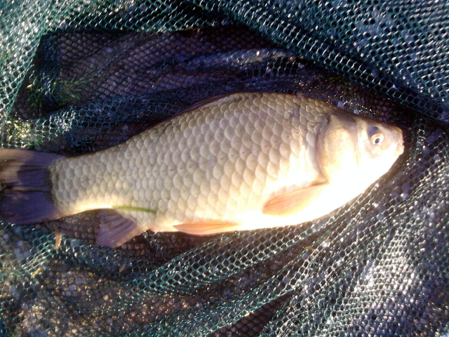 Scale count indicates crucian × goldfish hybrid.n