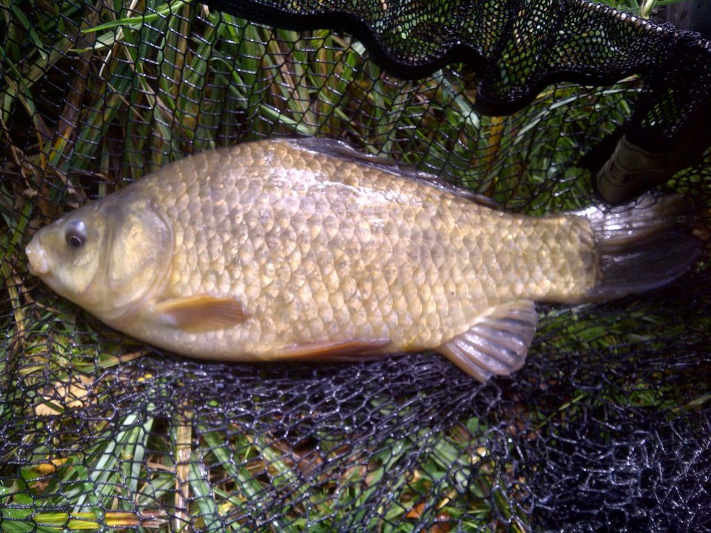 A Revels 'Pike Lake' goldfish × crucian