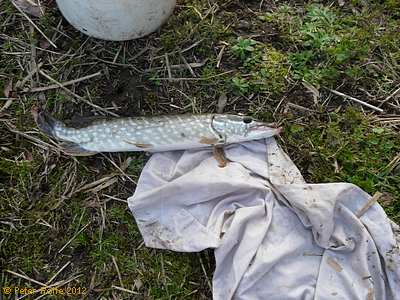 A Wetlands pike