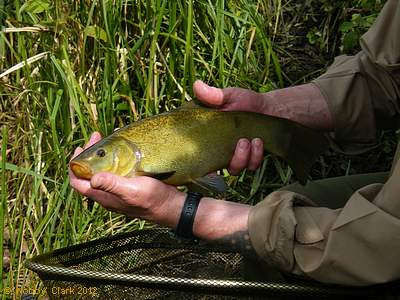 Nobby's tench