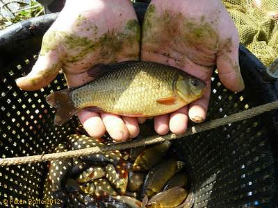 A perfect small crucian